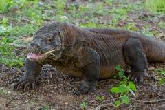 与开放嘴的科莫多巨蜥 免版税库存图片
