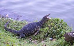 与开放嘴的蜥蜴在湖的岸说谎 斯里南卡 免版税库存照片