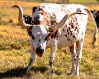 与开放嘴的长角牛母牛 库存图片