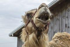与开放嘴的骆驼 免版税库存图片