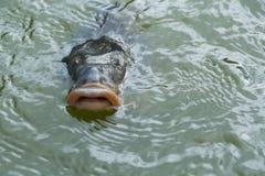 与开放嘴的鱼在水中 免版税库存图片