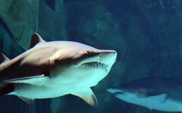 与开放嘴的鲨鱼 免版税库存图片
