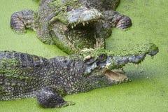 与开放嘴的鳄鱼在绿色软泥 库存图片