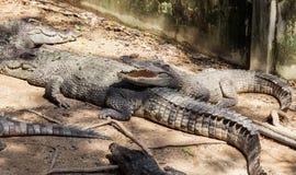 与开放嘴的鳄鱼 免版税库存照片