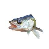 与开放他的嘴的掠食性鱼栖息处 免版税库存照片