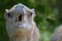 与开放他的嘴的骆驼 免版税图库摄影
