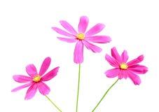 与开花与绿色词根的黄色花粉样式的自然五颜六色的三朵明亮的桃红色波斯菊花隔绝在白色背景 库存图片