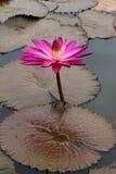 与开花和生长在池塘的紫色桃红色黄色五颜六色的叶子的莲花 免版税库存图片