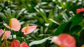 与开花在庭院里的黄色雄芯花蕊的野生精美毒水芋百合作为自然花卉背景 股票视频