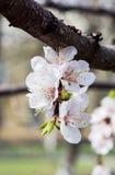 与开花在春天,与太阳的葡萄酒减速火箭的花卉背景的花蕾和花的杏树发出光线 美妙9心情多彩多姿的照片被设置的春天的郁金香 新的生活 免版税图库摄影