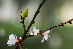 与开花在春天,与太阳的葡萄酒减速火箭的花卉背景的花蕾和花的杏树发出光线 美妙9心情多彩多姿的照片被设置的春天的郁金香 新的生活 免版税库存照片