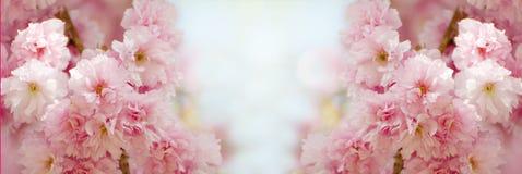 与开花在晴天的美丽的佐仓的花卉边界 与花的浪漫横幅反对bokeh背景 免版税库存照片