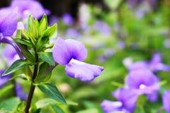 与开花在迷离绿色叶子背景的美丽的花的紫罗兰色或紫色颜色的关闭和选择聚焦 免版税库存图片