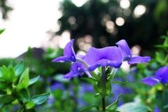 与开花在Bokeh背景的美丽的花的紫罗兰色或紫色颜色的关闭和选择聚焦 库存图片
