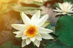 与开花池塘表面上的绿色叶子的美丽的白莲教  免版税库存照片