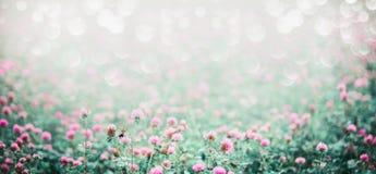 与开花的三叶草草甸的惊人的自然背景  免版税库存照片