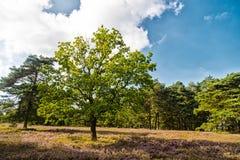 与开花的共同的石南花的欧石南丛生的荒野 库存照片