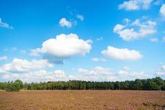 与开花的共同的石南花的欧石南丛生的荒野 免版税库存照片