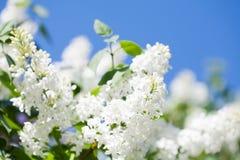 与开花的共同的紫丁香属植物寻常的淡紫色灌木白色培育品种的美好的春天花卉背景 春天 免版税库存照片