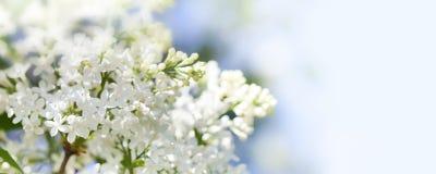 与开花的共同的紫丁香属植物寻常的淡紫色灌木白色培育品种的美好的春天花卉背景 春天 免版税库存图片