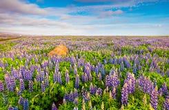 与开花的凶猛花的领域的典型的冰岛风景 库存照片