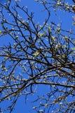 与开花的叶子的苹果树分支 免版税库存照片