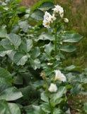 与开花的土豆植物在vegatable庭院里 免版税库存照片