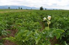 与开花的土豆植物的绿色领域 免版税库存图片