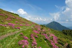 与开花的山坡的夏天风景 库存图片