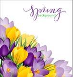 与开花的春天的春天背景开花,番红花 向量 免版税库存照片