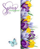 与开花的春天的春天背景开花,番红花 向量 免版税图库摄影