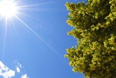 与开花的树的明亮的太阳 免版税库存照片