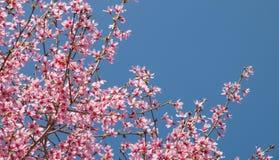 与开花的桃红色樱花的树枝 免版税图库摄影