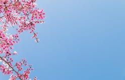 与开花的桃红色樱花的树枝 免版税库存照片
