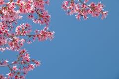 与开花的桃红色樱花的树枝 库存图片