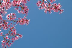 与开花的桃红色樱花的树枝 库存照片
