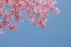 与开花的桃红色樱花的树枝 免版税库存图片