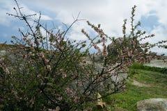 与开花的樱桃树的美好的自然场面 库存图片