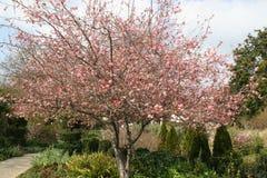 与开花的樱桃树 免版税库存图片