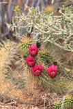 与开花的洋红色花的草莓仙人掌 库存照片