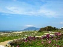 与开花的狂放的桃红色花地毯和曲线道路在大西洋海岸,葡萄牙,欧洲的春天风景 库存图片