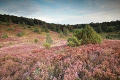 与开花的石南花的桃红色小山 免版税图库摄影