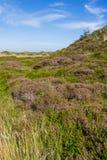 与开花的石南花的沙丘风景 库存照片