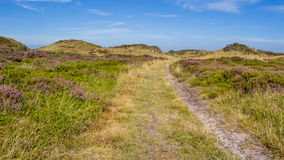 与开花的石南花的沙丘风景 免版税库存图片