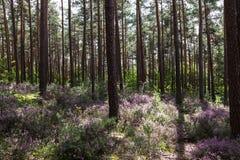 与开花的石南花的被日光照射了清洁在森林中间 免版税库存图片