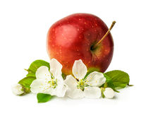与开花的红色成熟苹果 库存照片