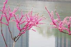 与开花的花的桃树 免版税库存照片