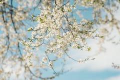 与开花的花的被日光照射了樱桃树分支 图库摄影