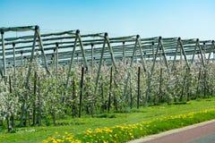 与开花的苹果树果树园和绿草的柏油路和春天风景 免版税图库摄影