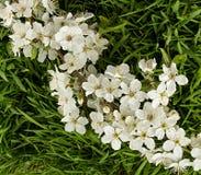 与开花的苹果树的绿草 免版税图库摄影